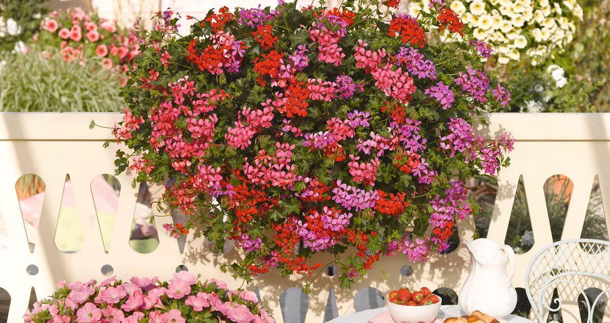 Balkonblume Pelargonie - Lagerhaus Mieming
