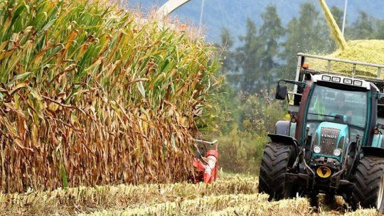 Mais-Silage ist das Grundfutter für das Vieh in Mieming. (Foto: Knut Kuckel)